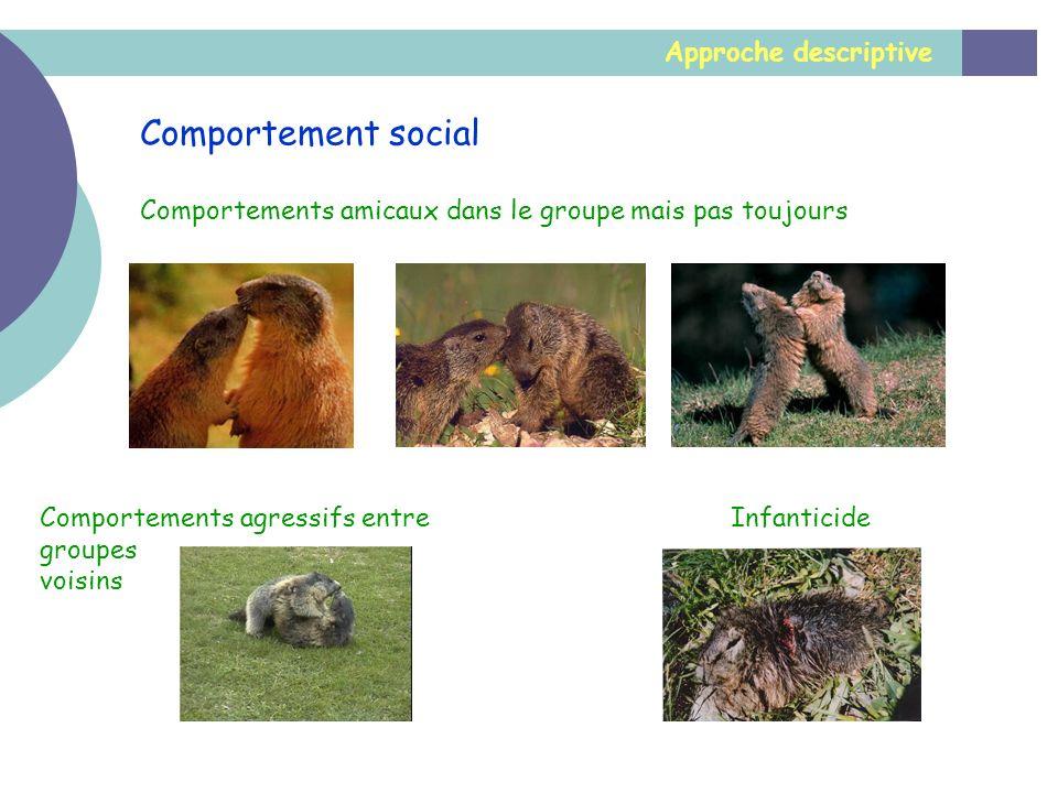 Approche descriptive Comportement social Comportements amicaux dans le groupe mais pas toujours Comportements agressifs entre groupes voisins Infantic