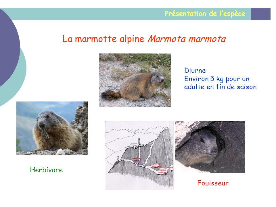 Présentation de lespèce La marmotte alpine Marmota marmota Diurne Environ 5 kg pour un adulte en fin de saison Herbivore Fouisseur