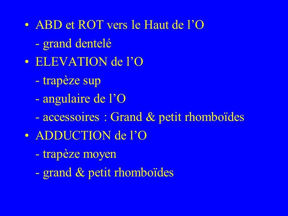 ABD et ROT vers le Haut de lO - grand dentelé ELEVATION de lO - trapèze sup - angulaire de lO - accessoires : Grand & petit rhomboïdes ADDUCTION de lO