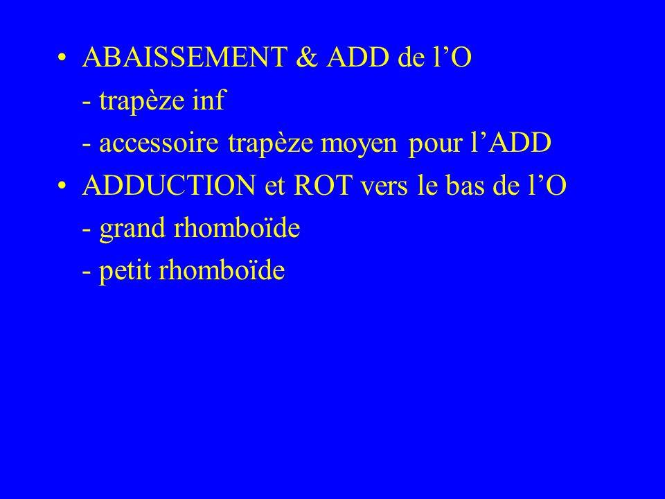 ABAISSEMENT & ADD de lO - trapèze inf - accessoire trapèze moyen pour lADD ADDUCTION et ROT vers le bas de lO - grand rhomboïde - petit rhomboïde
