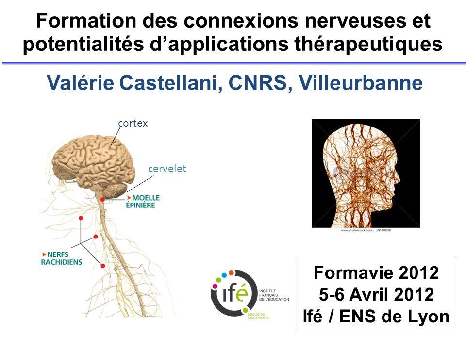 Valérie Castellani, CNRS, Villeurbanne Formation des connexions nerveuses et potentialités dapplications thérapeutiques cortex cervelet Formavie 2012