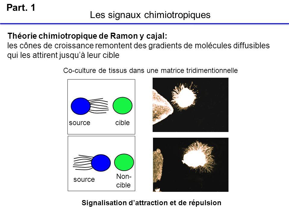 Les signaux chimiotropiques Part. 1 sourcecible source Théorie chimiotropique de Ramon y cajal: les cônes de croissance remontent des gradients de mol