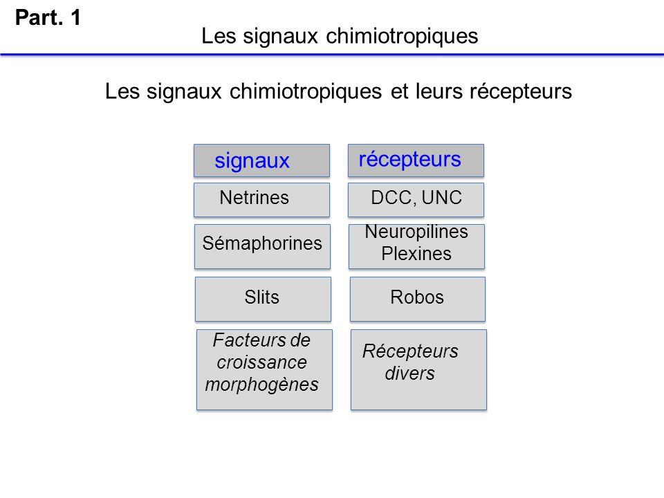 Les signaux chimiotropiques Part. 1 Les signaux chimiotropiques et leurs récepteurs Netrines signaux récepteurs Sémaphorines DCC, UNC Neuropilines Ple