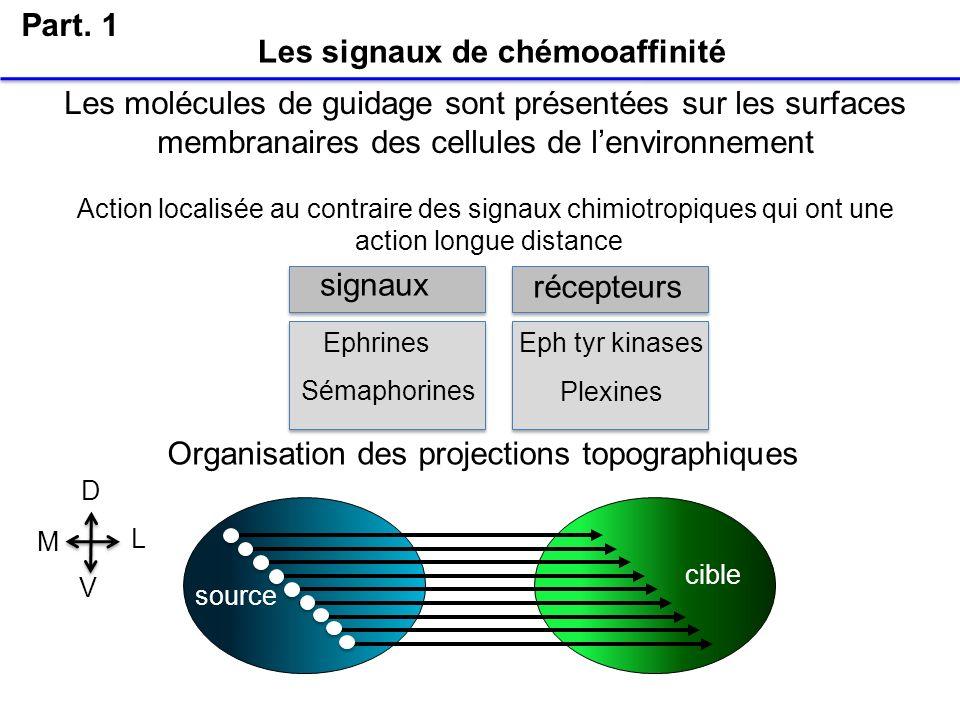 Les signaux de chémooaffinité Part. 1 Les molécules de guidage sont présentées sur les surfaces membranaires des cellules de lenvironnement Action loc