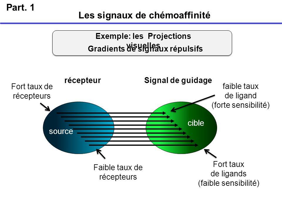 Les signaux de chémoaffinité Part. 1 Fort taux de récepteurs faible taux de ligand (forte sensibilité) Faible taux de récepteurs Fort taux de ligands