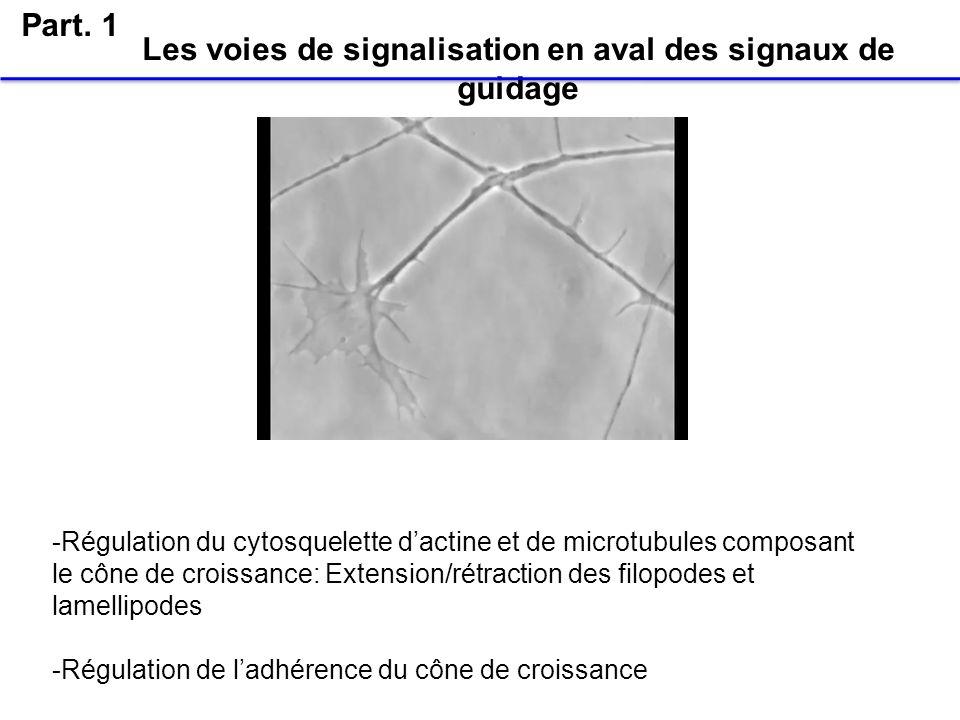 Les voies de signalisation en aval des signaux de guidage Part. 1 -Régulation du cytosquelette dactine et de microtubules composant le cône de croissa