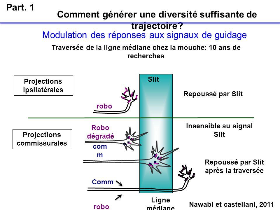 Comment générer une diversité suffisante de trajectoire? Part. 1 Modulation des réponses aux signaux de guidage Ligne médiane Slit Projections ipsilat