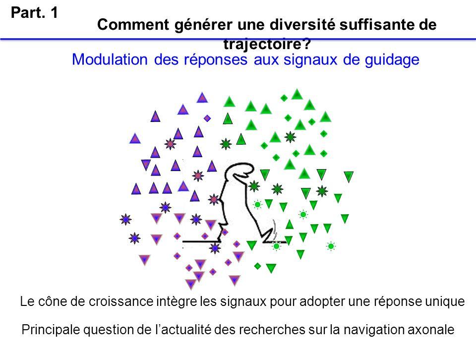 Comment générer une diversité suffisante de trajectoire? Part. 1 Modulation des réponses aux signaux de guidage Le cône de croissance intègre les sign