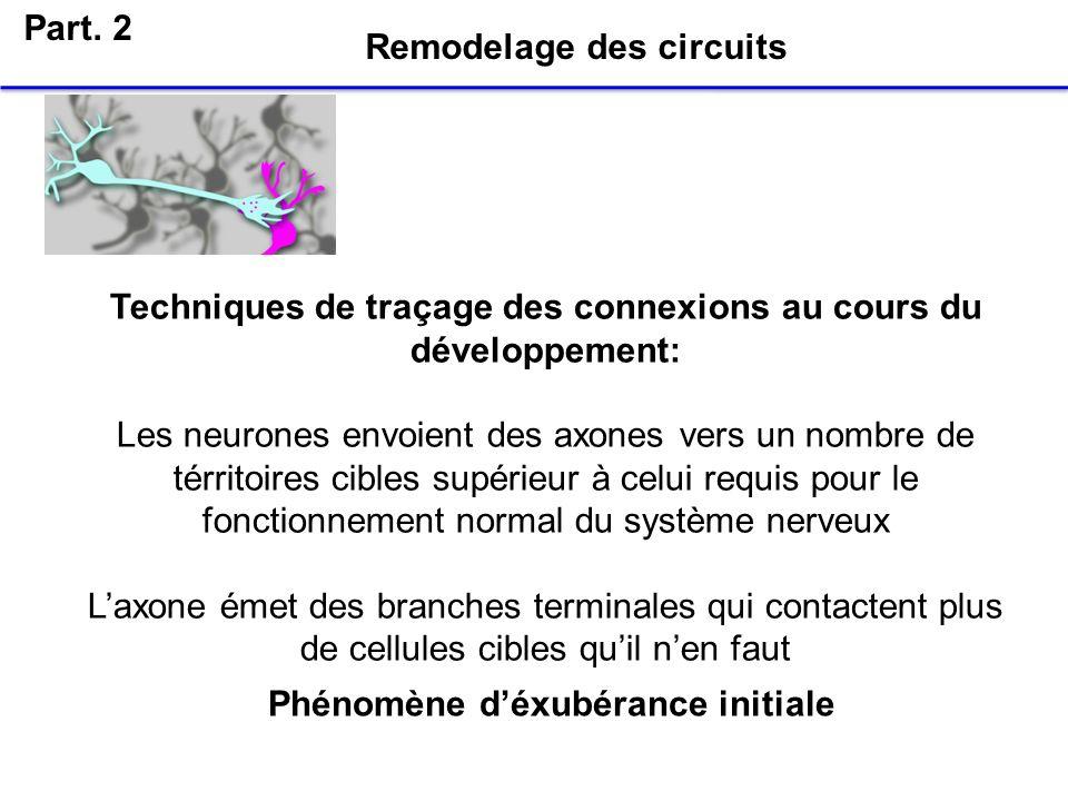 Part. 2 Remodelage des circuits Phénomène déxubérance initiale Techniques de traçage des connexions au cours du développement: Les neurones envoient d
