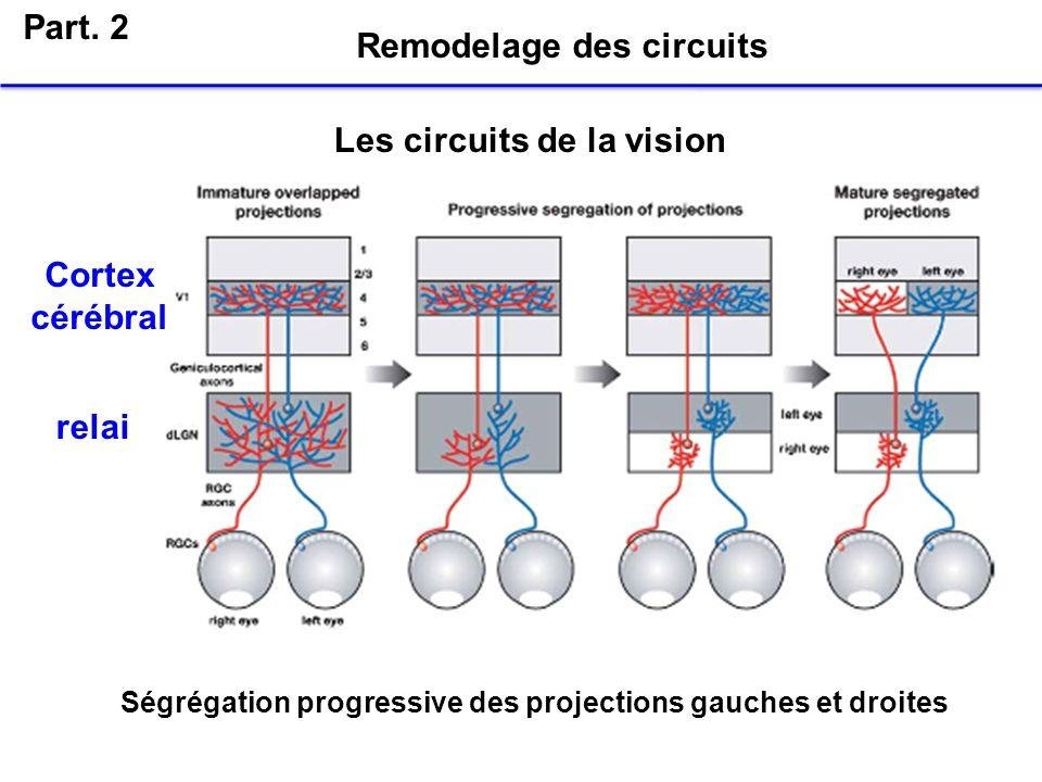 Part. 2 Remodelage des circuits Les circuits de la vision Cortex cérébral relai Ségrégation progressive des projections gauches et droites