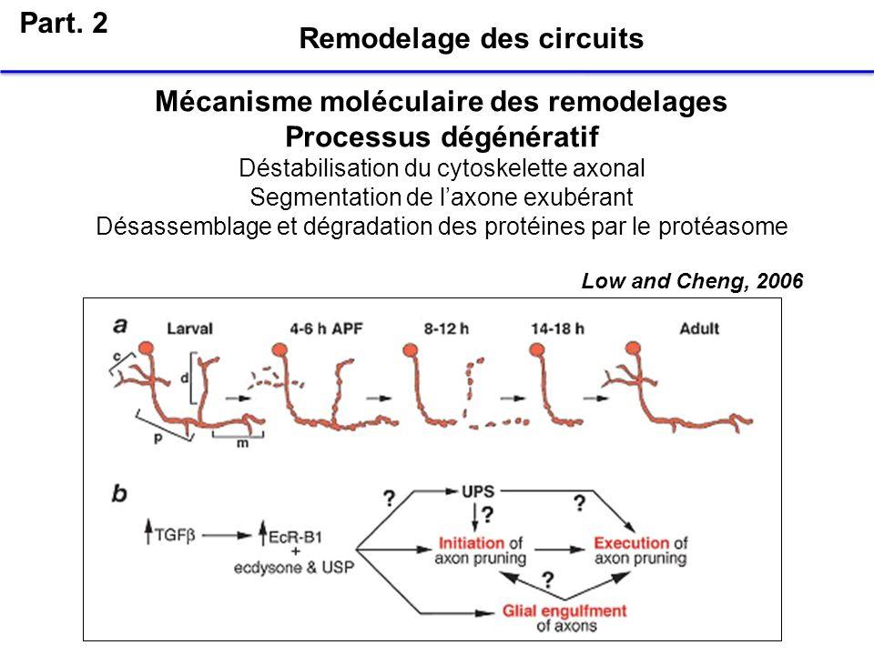 Part. 2 Remodelage des circuits Mécanisme moléculaire des remodelages Processus dégénératif Déstabilisation du cytoskelette axonal Segmentation de lax