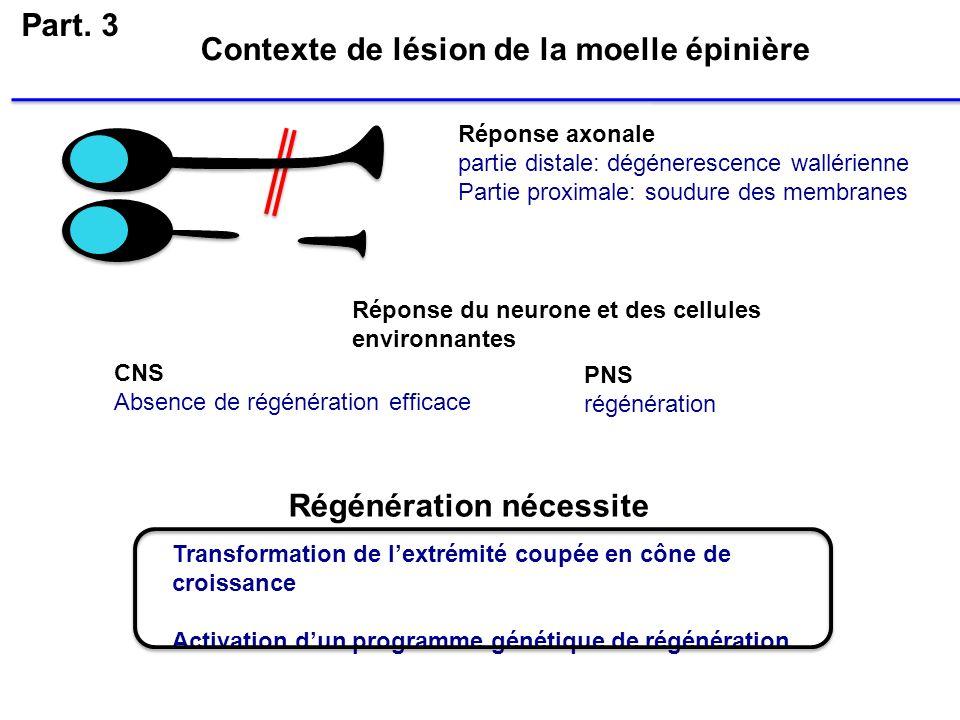 Part. 3 Transformation de lextrémité coupée en cône de croissance Activation dun programme génétique de régénération Réponse axonale partie distale: d