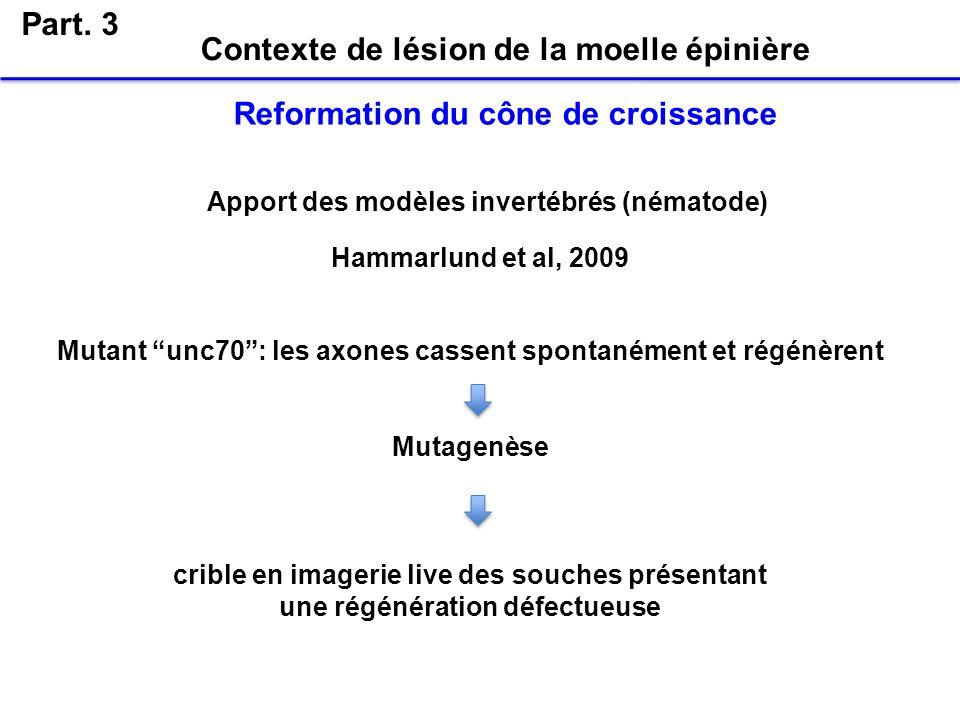 Part. 3 Apport des modèles invertébrés (nématode) Mutant unc70: les axones cassent spontanément et régénèrent Mutagenèse crible en imagerie live des s