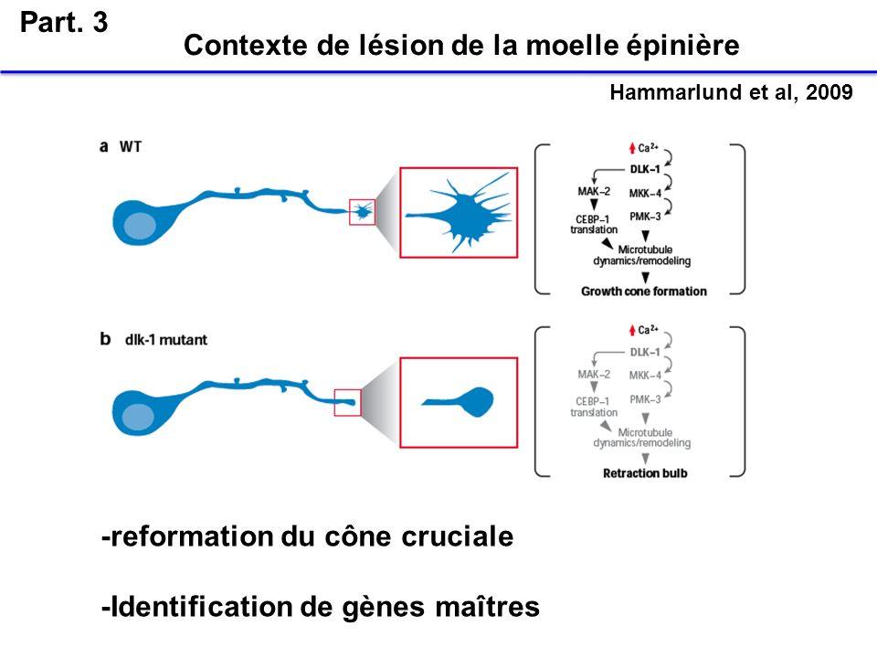 Part. 3 Hammarlund et al, 2009 -reformation du cône cruciale -Identification de gènes maîtres Contexte de lésion de la moelle épinière