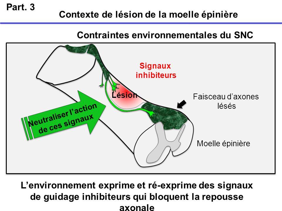 Lésion Faisceau daxones lésés Contraintes environnementales du SNC Moelle épinière Neutraliser laction de ces signaux Signaux inhibiteurs Part. 3 Cont