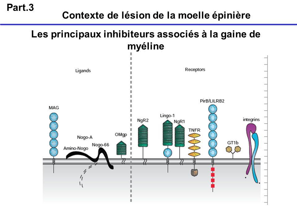 Part.3 Contexte de lésion de la moelle épinière Les principaux inhibiteurs associés à la gaine de myéline