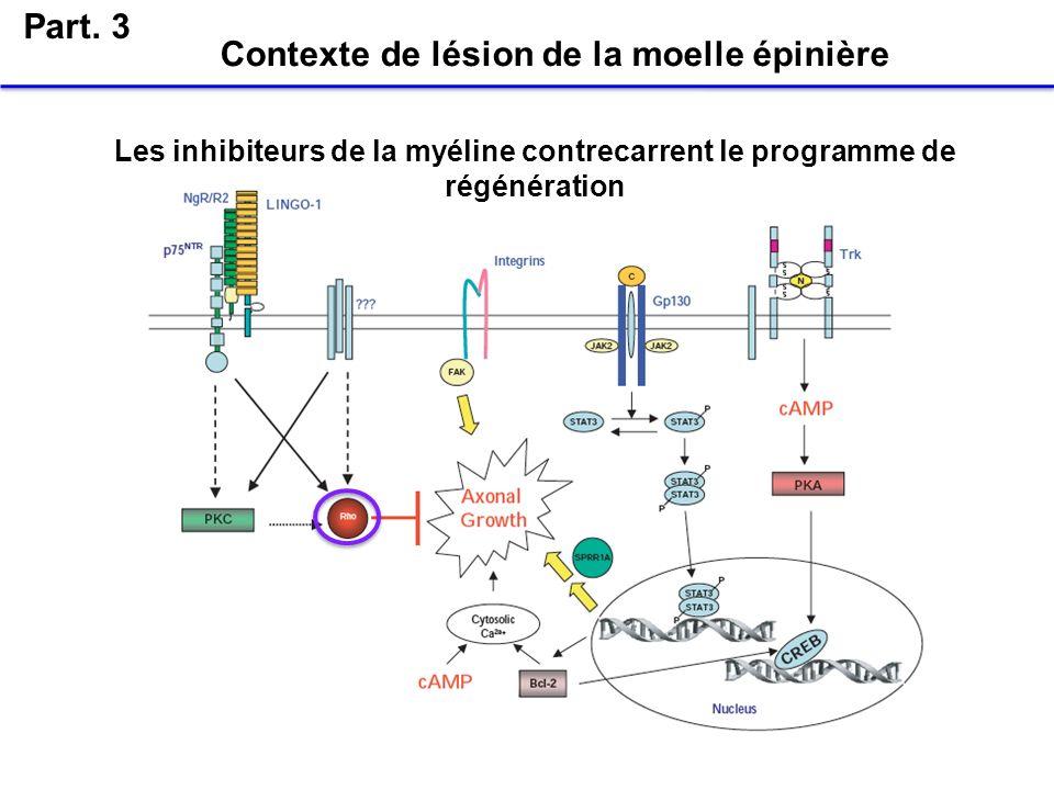 Part. 3 Contexte de lésion de la moelle épinière Les inhibiteurs de la myéline contrecarrent le programme de régénération