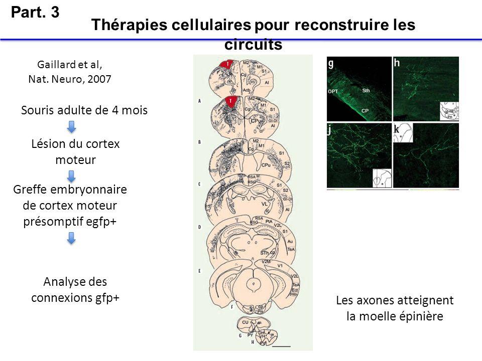Part. 3 Thérapies cellulaires pour reconstruire les circuits Souris adulte de 4 mois Lésion du cortex moteur Greffe embryonnaire de cortex moteur prés