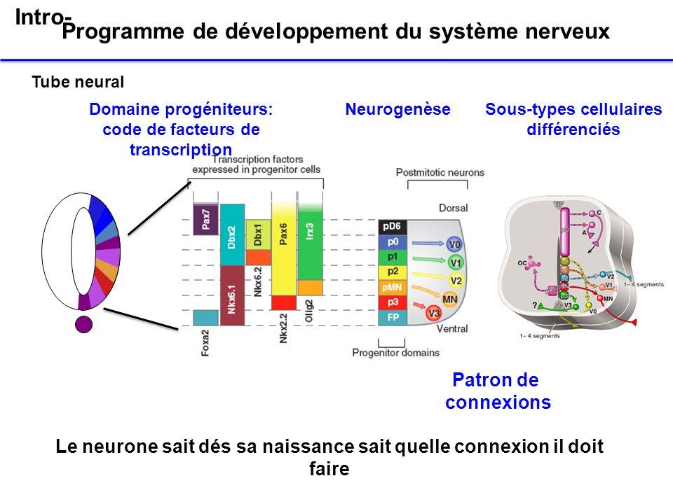 Programme de développement du système nerveux Domaine progéniteurs: code de facteurs de transcription Sous-types cellulaires différenciés Neurogenèse