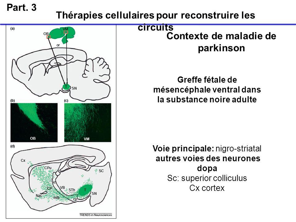 Greffe fétale de mésencéphale ventral dans la substance noire adulte Voie principale: nigro-striatal autres voies des neurones dopa Sc: superior colli