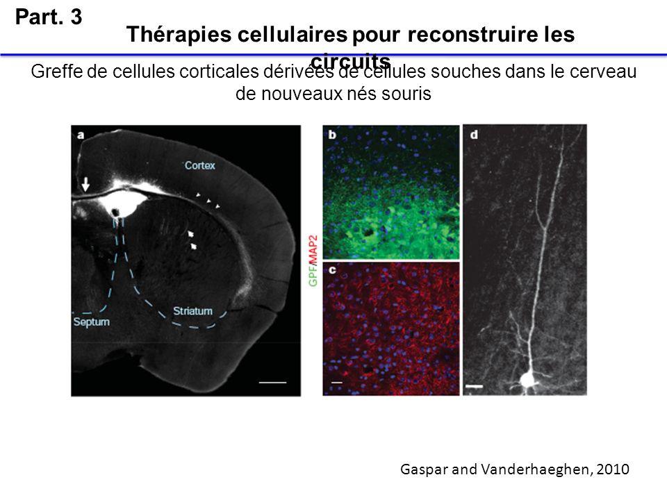 Greffe de cellules corticales dérivées de cellules souches dans le cerveau de nouveaux nés souris Part. 3 Thérapies cellulaires pour reconstruire les