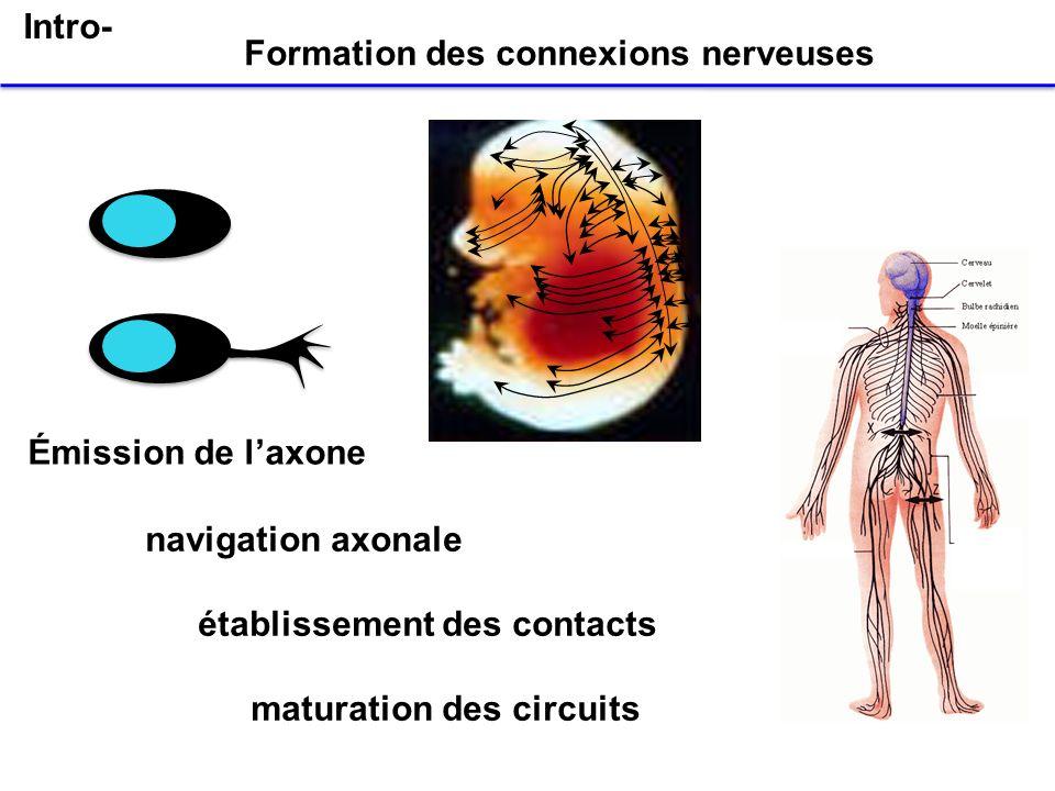 Enjeu de la construction des connexions nerveuses mettre en communication les structures appropriées Chaque neurone doit se connecter à sa bonne cible Notion cruciale de spécificité des circuits Formation des connexions nerveuses -Mécanismes dassignation des identités -Contrôle des trajectoires au cours de la navigation axonale Intro-