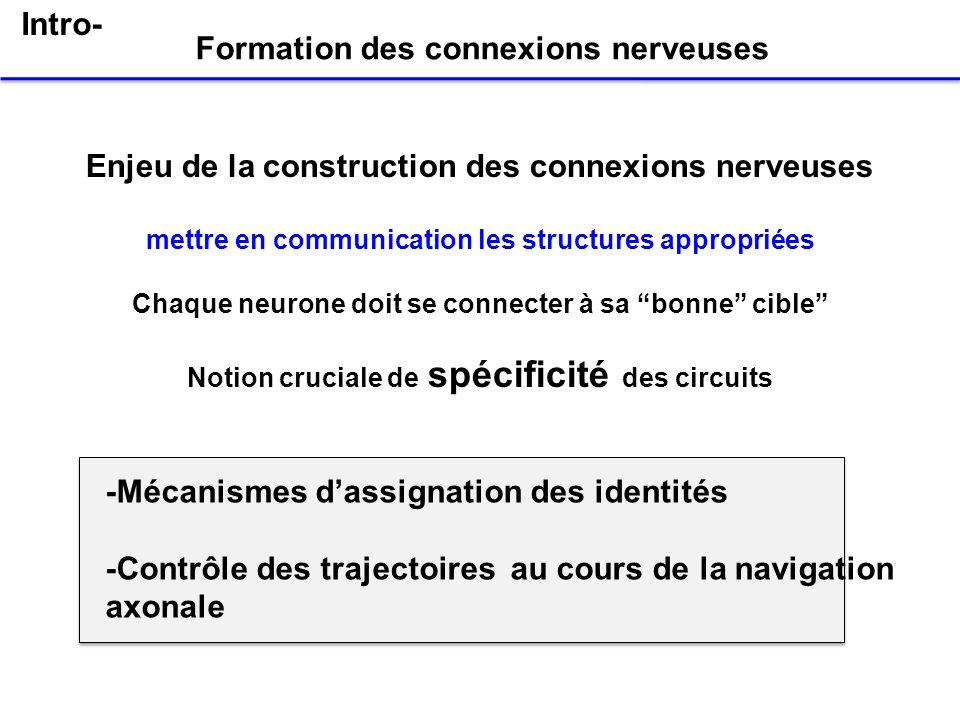 Enjeu de la construction des connexions nerveuses mettre en communication les structures appropriées Chaque neurone doit se connecter à sa bonne cible