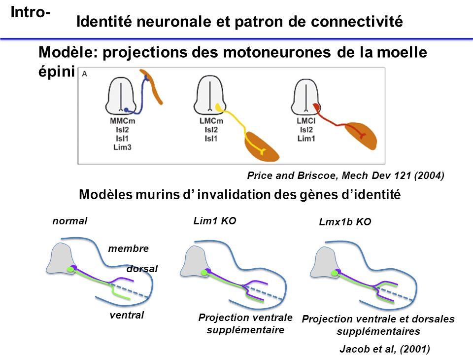 Modèle: projections des motoneurones de la moelle épinière Identité neuronale et patron de connectivité Price and Briscoe, Mech Dev 121 (2004) Jacob e
