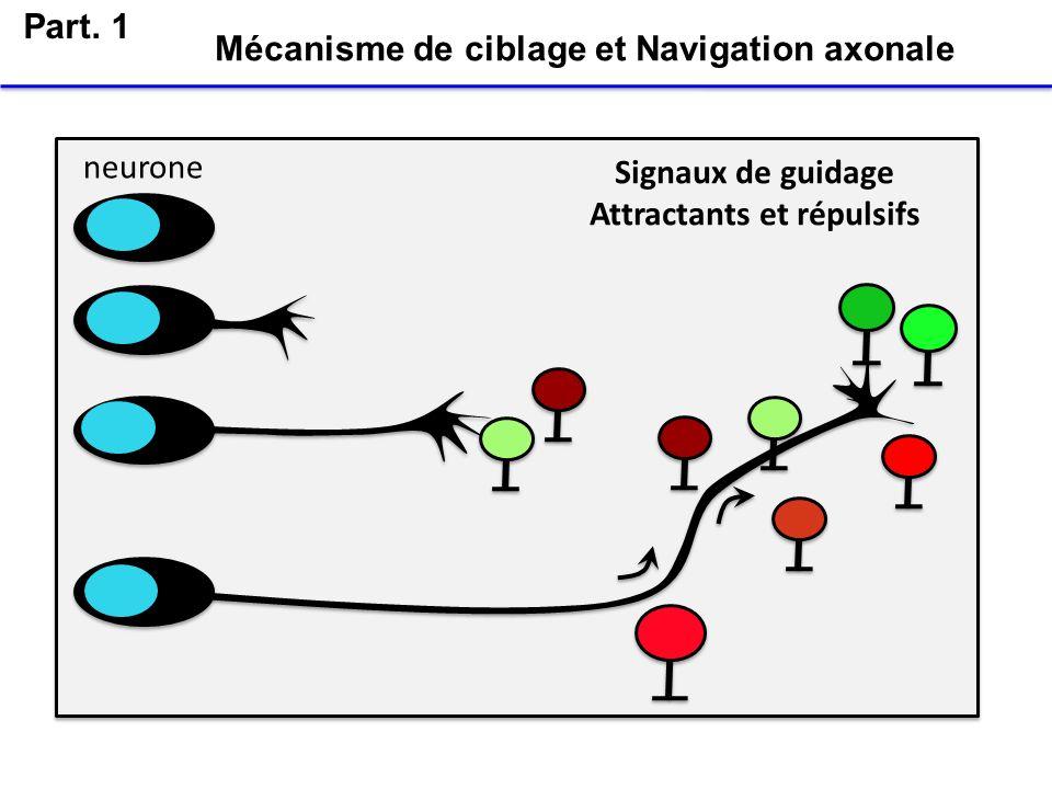 Ramon y Cajal, 1892 Le cône de croissance Mécanismes de ciblage et Navigation axonale Le neurone émet un prolongement, laxone, qui est muni à son extremité dune structure motile, le cône de croissance Part.