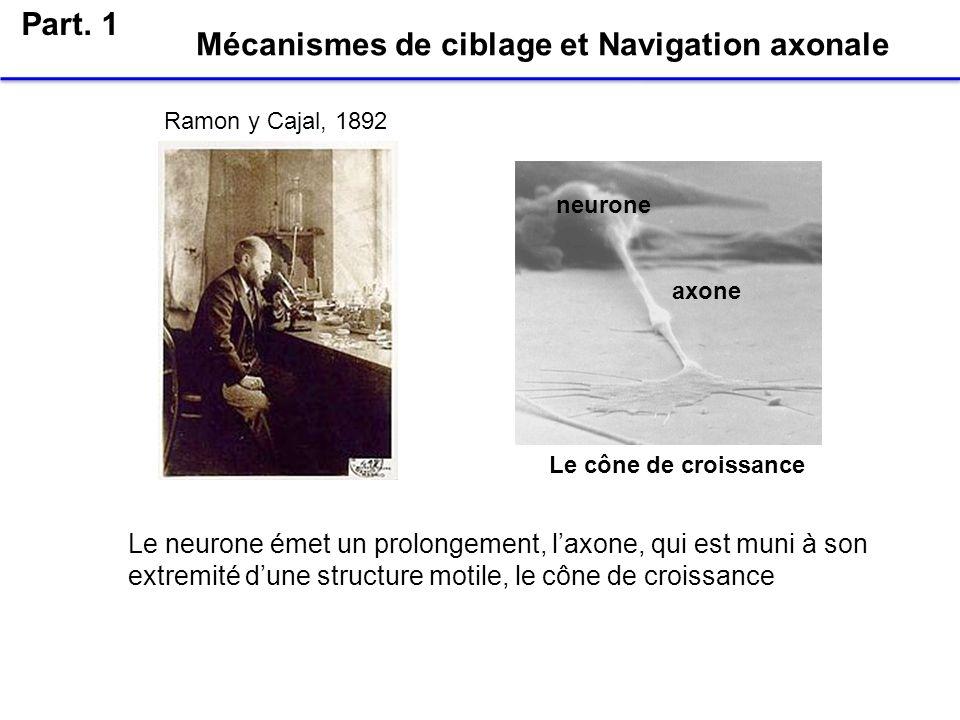 Ramon y Cajal, 1892 Le cône de croissance Mécanismes de ciblage et Navigation axonale Le neurone émet un prolongement, laxone, qui est muni à son extr