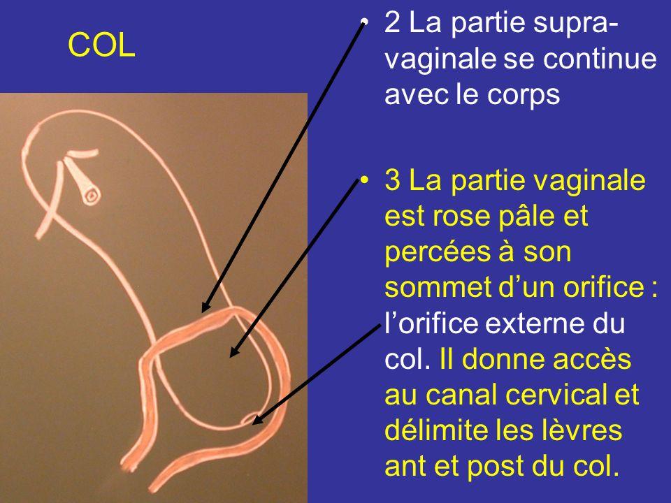 COL Cylindrique et donne insertion au vagin qui le divise en 2 parties : supra vaginales et vaginales 1 Linsertion vaginale : très oblique en bas et en Av, est situé en Arr sur le 1/3 sup et en Av sur le 1/3 inf du col.