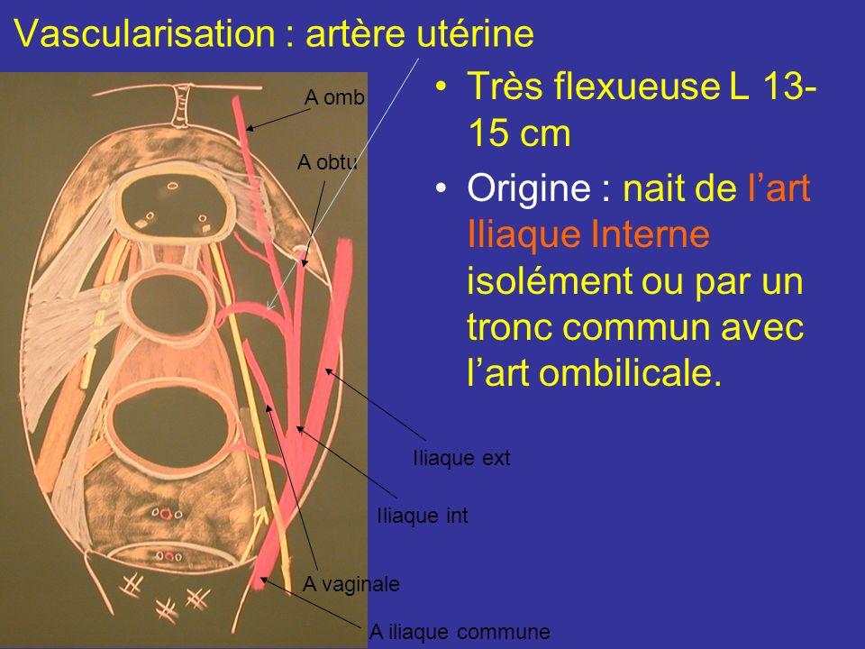 Rapport avec le squelette Le fundus utérin est situé à environ 25 mm de la face post de la symphyse pubienne lorifice ext du col au niveau des épines