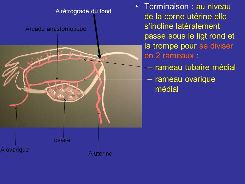 près de listhme elle se courbe pour remonter sinueuses le long du bord utérin dans le mésomètre = segment mésométrial Ostium de luretère Crosse de la