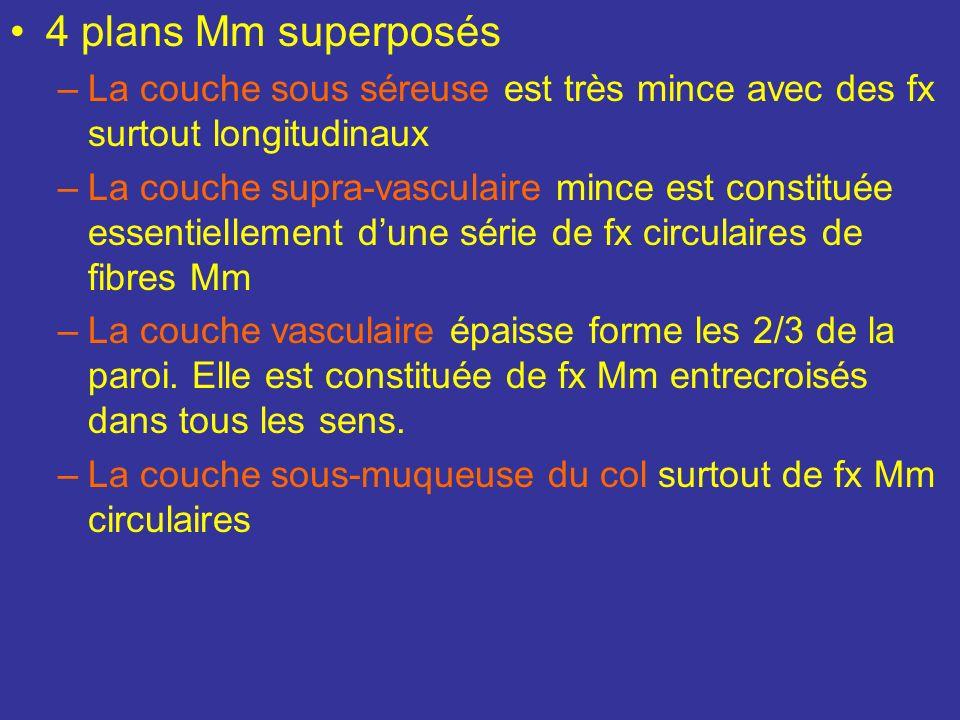 Tunique musculeuse ou myomètre 1) La tunique musculeuse du corps se compose de fibres Mm lisses, fusiformes, groupés en fx séparés par du TC. Comprend