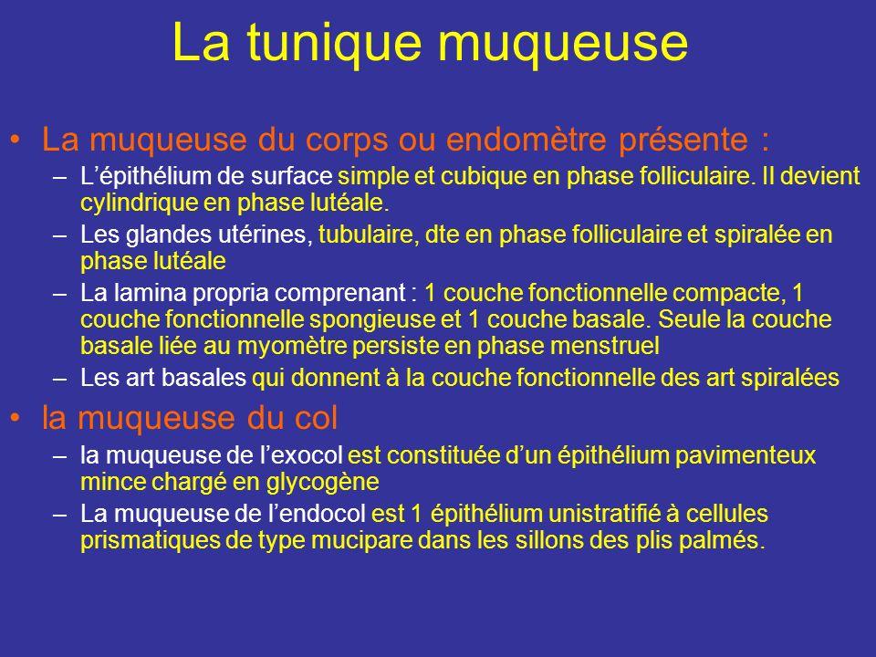2) La tunique musculeuse du col présente des fx Mm qui sont dautant + réduits quon se rapproche de la portion vaginale du col. Des fibres longitudinal