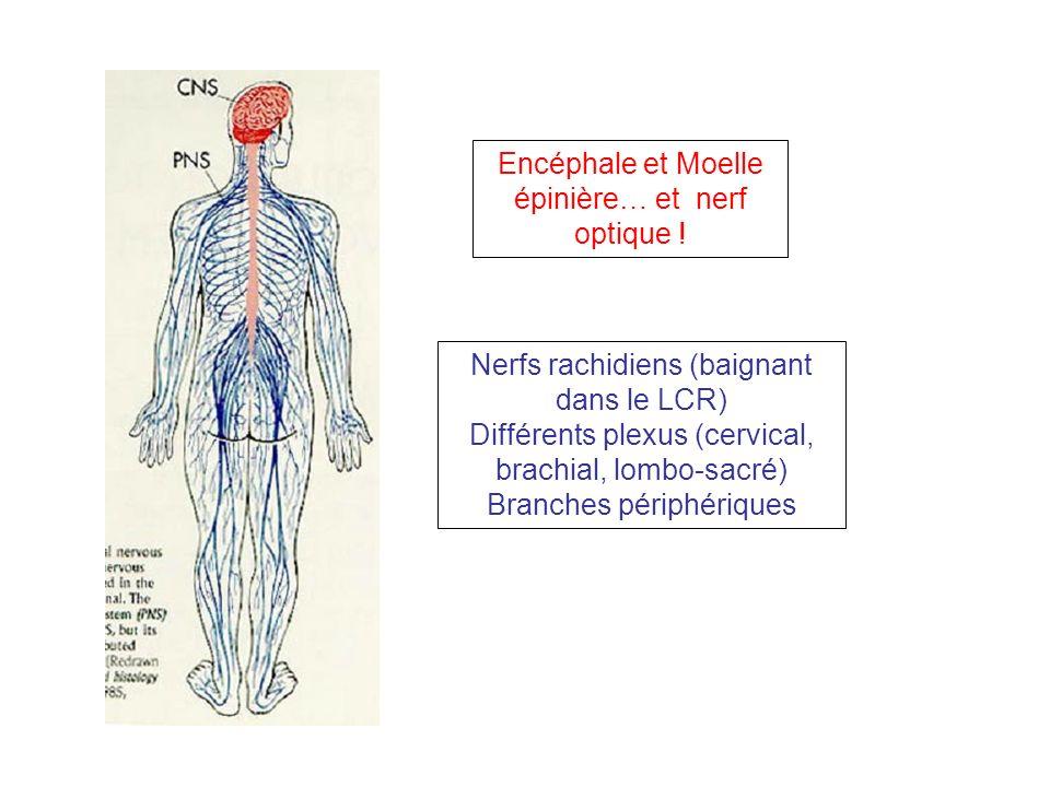 Encéphale et Moelle épinière… et nerf optique ! Nerfs rachidiens (baignant dans le LCR) Différents plexus (cervical, brachial, lombo-sacré) Branches p