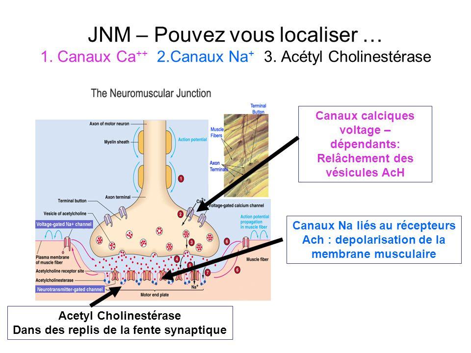 JNM – Pouvez vous localiser … 1. Canaux Ca ++ 2.Canaux Na + 3. Acétyl Cholinestérase Acetyl Cholinestérase Dans des replis de la fente synaptique Cana