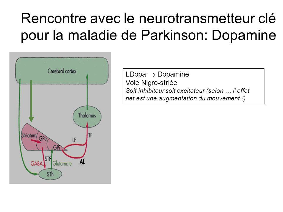 Rencontre avec le neurotransmetteur clé pour la maladie de Parkinson: Dopamine LDopa Dopamine Voie Nigro-striée Soit inhibiteur soit excitateur (selon … l effet net est une augmentation du mouvement !)