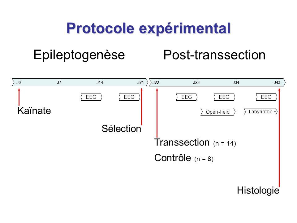 Protocole expérimental Kaïnate Open-field Epileptogenèse Post-transsection J0J7J21J14J22J28J43J34 Sélection Transsection (n = 14) Contrôle (n = 8) EEG Histologie Labyrinthe +