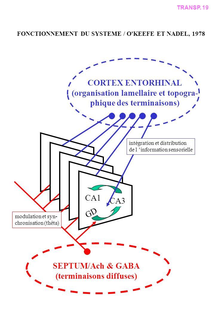 CORTEX ENTORHINAL (organisation lamellaire et topogra- phique des terminaisons) SEPTUM/Ach & GABA (terminaisons diffuses) CA1 GD CA3 intégration et distribution de l information sensorielle modulation et syn- chronisation (thêta) TRANSP.