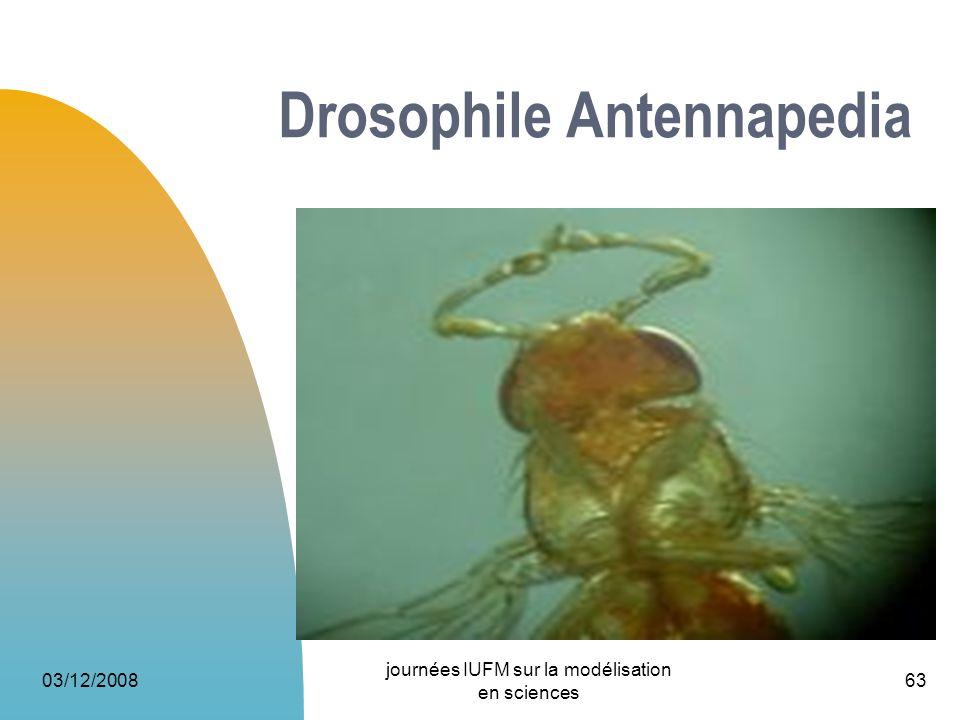 03/12/2008 journées IUFM sur la modélisation en sciences 63 Drosophile Antennapedia