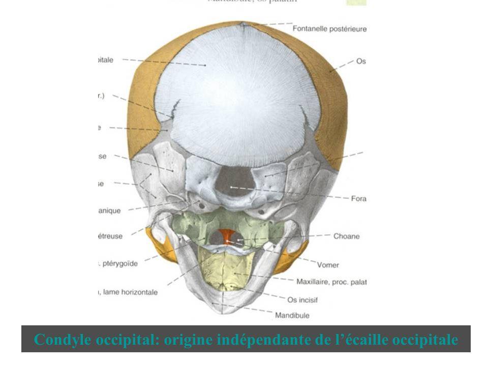 Condyle occipital: origine indépendante de lécaille occipitale