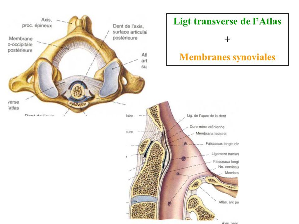 Ligt transverse de lAtlas + Membranes synoviales