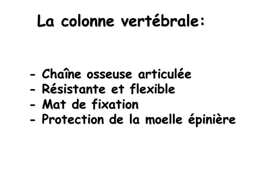 - Chaîne osseuse articulée - Résistante et flexible - Mat de fixation - Protection de la moelle épinière La colonne vertébrale: La colonne vertébrale: