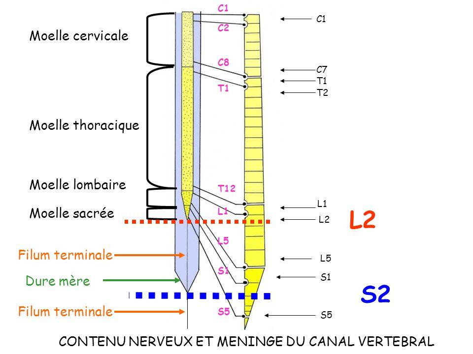 CONTENU NERVEUX ET MENINGE DU CANAL VERTEBRAL C1 L1 T1 T2 L2 L5 S1 S5 C1 C2 T1 C8 C7 T12 L1 L5 S1 Moelle cervicale Moelle thoracique Moelle lombaire M