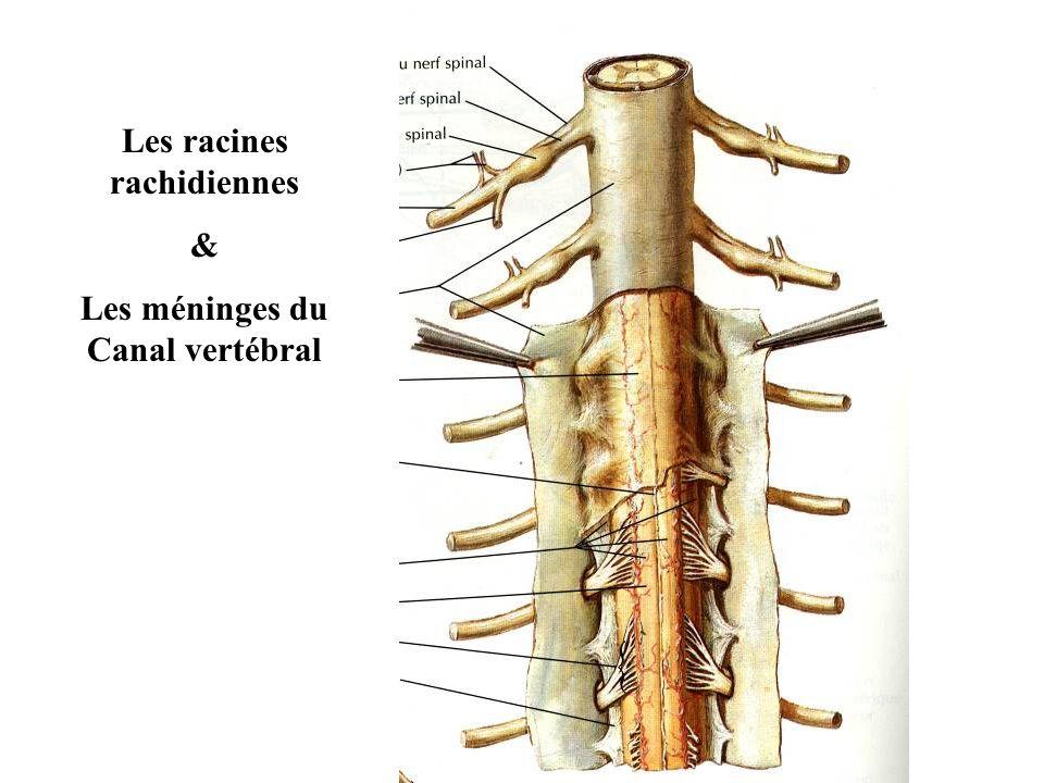 Les racines rachidiennes & Les méninges du Canal vertébral
