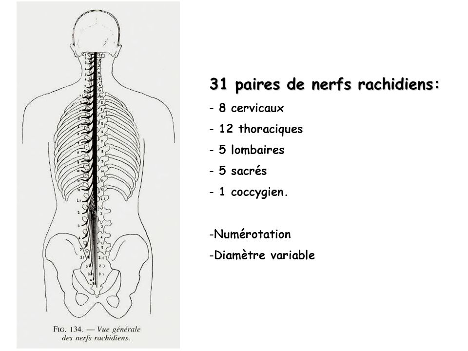 31 paires de nerfs rachidiens: - 8 cervicaux - 12 thoraciques - 5 lombaires - 5 sacrés - 1 coccygien. -Numérotation -Diamètre variable