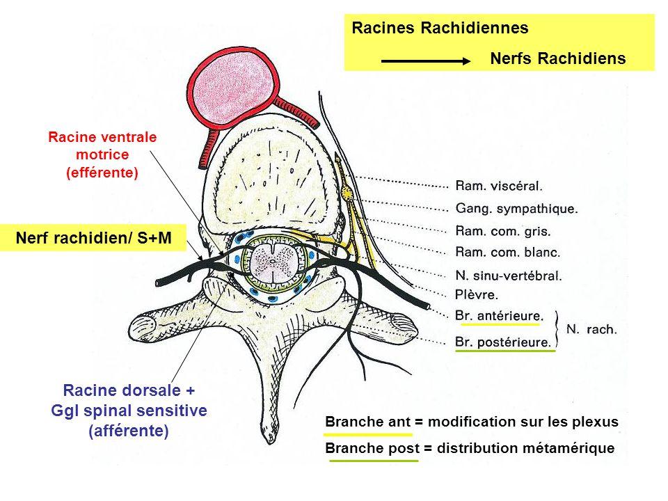 Branche ant = modification sur les plexus Branche post = distribution métamérique Racines Rachidiennes Nerfs Rachidiens Racine ventrale motrice (effér