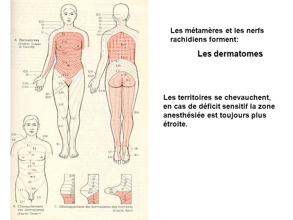 Les métamères et les nerfs rachidiens forment: Les dermatomes Les territoires se chevauchent, en cas de déficit sensitif la zone anesthésiée est toujo