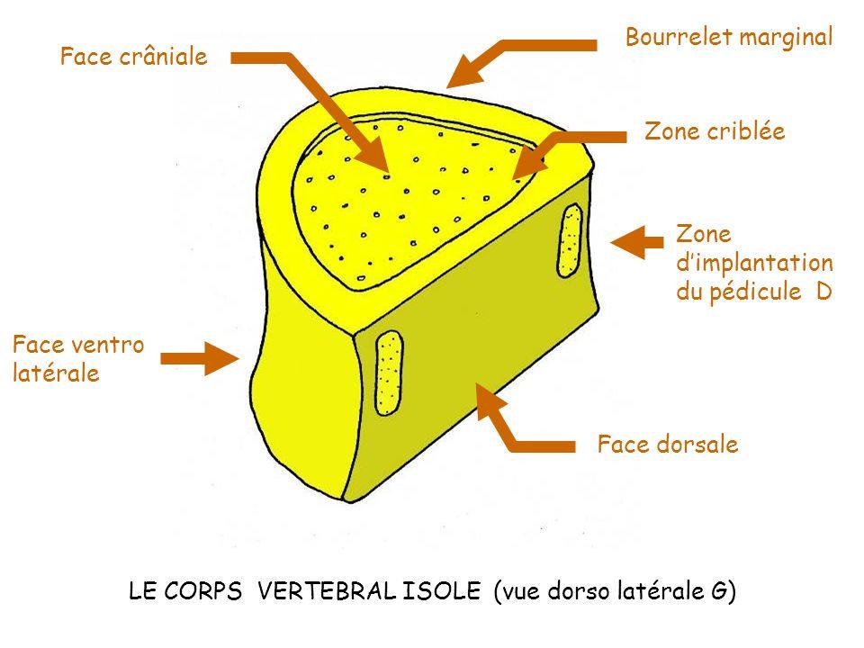 LE CORPS VERTEBRAL ISOLE (vue dorso latérale G) Face crâniale Bourrelet marginal Zone criblée Face dorsale Face ventro latérale Zone dimplantation du